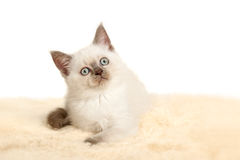 Portrait of British Shorthair Kitten sitting, color point color. Stock Photo