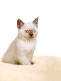 Portrait of British Shorthair Kitten sitting, color point color. Royalty Free Stock Photos