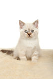 Portrait of British Shorthair Kitten sitting, color point color. Stock Images