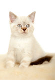 Portrait of British Shorthair Kitten sitting, color point color. Royalty Free Stock Image