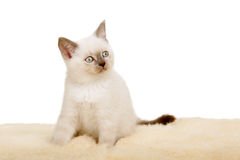 Portrait of British Shorthair Kitten sitting, color point color. Stock Photography