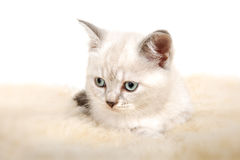 Portrait of British Shorthair Kitten sitting, color point color. Royalty Free Stock Photo