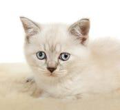 Portrait of British Shorthair Kitten sitting, color point color. Stock Photos