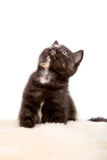 Portrait of British Shorthair Kitten sitting, 8 weeks old, Stock Image