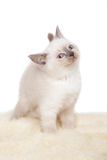 Portrait of British Shorthair Kitten sitting, 8 weeks old, Royalty Free Stock Photos