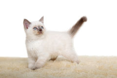 Portrait of British Shorthair Kitten sitting, 8 weeks old, Royalty Free Stock Images