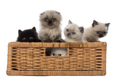 Portrait of British Shorthair Kittens in basket. Against white background Stock Photos