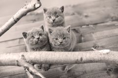 Portrait of British Shorthair kittens among branches. British Shorthair kittens climbing on branches of tree, tree trunk, view from above, kittens looking up Stock Photos