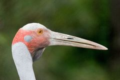 Portrait of Brolga bird. Side portrait of Australian Brolga bird with long beak or bill; green nature background Royalty Free Stock Photography