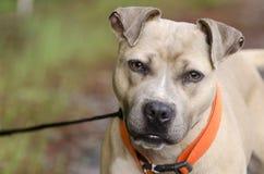 Portrait bronzage et blanc de chien de Pitbull Terrier Photographie stock libre de droits