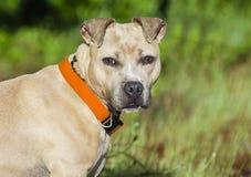 Portrait bronzage et blanc de chien de Pitbull Terrier Images libres de droits