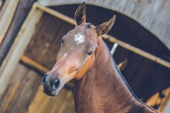 Portrait of brown Akhal teke horse with white spot on forehead. Standing in a shadow of a stable, close up, wooden planks in background, spring day at a farm royalty free stock photos