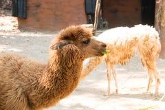 Portrait of a brown alpaca Stock Images