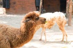 Portrait of a brown alpaca Stock Image