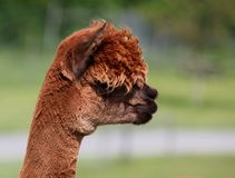 Portrait of a brown alpaca in profile. Royalty Free Stock Images