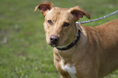 Portrait of brown American Staffordshire bull terrier. Royalty Free Stock Image