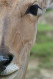 Portrait of brown antelope. Foreground portrait of antelope on green and brown background Stock Photos