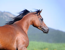 Portrait of brown arabian horse in motion Royalty Free Stock Photos