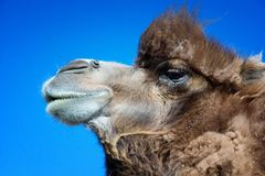 Portrait of brown bactrian camel Royalty Free Stock Photography