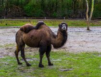 Portrait of a brown bactrian camel in a pasture, domesticated animal from Asia. A portrait of a brown bactrian camel in a pasture, domesticated animal from Asia royalty free stock photography