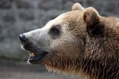 Portrait of a brown bear. The portrait of a brown bear Stock Photos