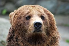 Portrait of brown bear Stock Photos