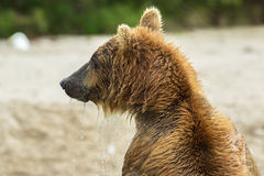 Portrait of a brown bear close up. Kurile Lake. Royalty Free Stock Photography