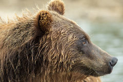 Portrait of a brown bear close up. Kurile Lake. Stock Photography