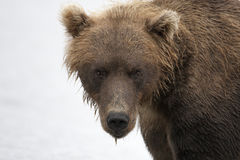 Portrait of a brown bear closeup Royalty Free Stock Image
