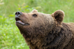 Portrait of a brown bear. Stock Images