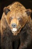 Portrait of a brown bear Stock Image