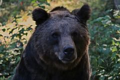 Portrait of a brown bear in the forest. Portrait of a brown bear looking into the camera in the forest Royalty Free Stock Photo