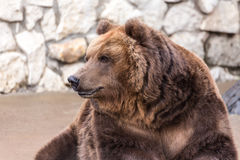Portrait of a brown bear Royalty Free Stock Photography