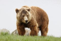 Portrait of brown bear. In nature Stock Photography