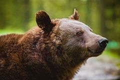 Portrait of Brown Bear. On Blurred Background Royalty Free Stock Image