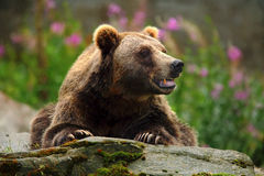 Portrait of brown bear, sitting on the grey stone, pink flowers at the background, animal in the nature habitat, Finland Royalty Free Stock Photo