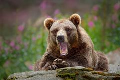Portrait of brown bear, sitting on the grey stone, pink flowers at the background. Danger animal in the nature habitat, Sweden. Wi. Portrait of brown bear royalty free stock photo
