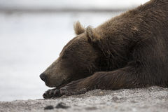 Portrait of a brown bear sleeping on the shore of lake. Photo closeup of brown bear sleeping on the shore of lake Royalty Free Stock Photo
