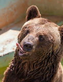 Portrait of a brown bear Royalty Free Stock Photos
