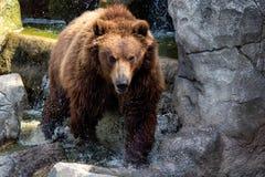 Portrait of brown bear Ursus arctos beringianus. royalty free stock photography