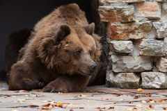 Portrait of brown bear Stock Image