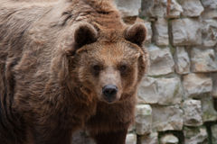 Portrait of brown bear Royalty Free Stock Photography