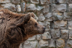 Portrait of brown bear Royalty Free Stock Photos