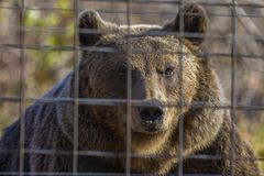 The brown bear at the zoo among the bars. Portrait with the brown bear at the zoo among the bars stock images