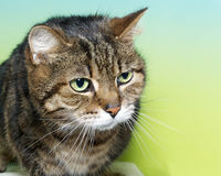 Portrait of a brown black and white tabby cat with green eyes. Looking to the side on a blue and yellow green textured background. Copy space Royalty Free Stock Photo