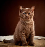 Portrait of brown british shorthair kitten Stock Photography