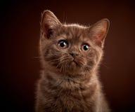 Portrait of brown british shorthair kitten Stock Photos