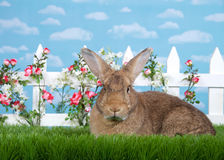 Portrait of Brown Bunny in Flower Garden. Brown rabbit sitting in green grass, sideways facing viewers left but looking at viewer. White picket fence with small Royalty Free Stock Photo
