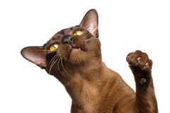 Portrait of Brown Burmese Cat isolated on white background Stock Image