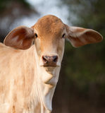 Portrait of brown calf Stock Image